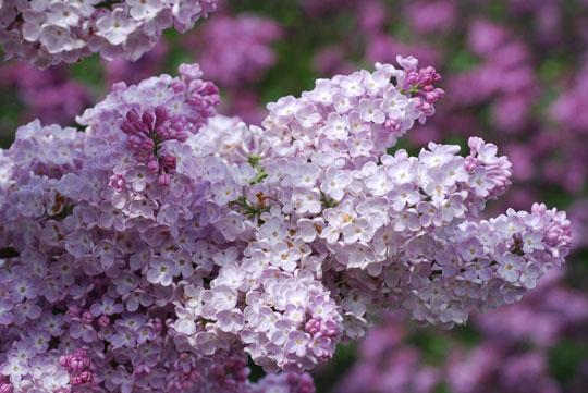 Lilac8-05-2472