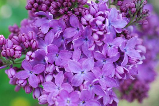 Lilac8-05-1838
