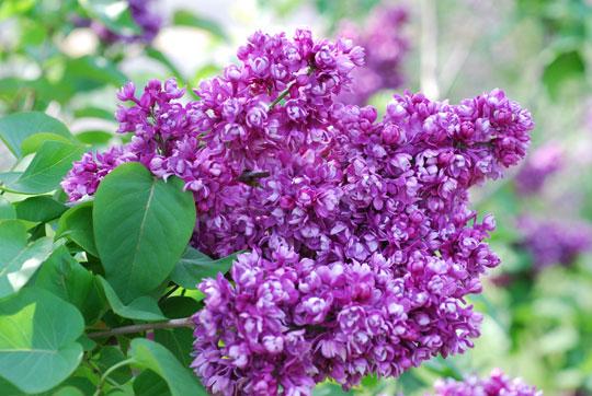 Lilac8-05-1874
