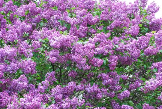 Lilac8-05-2167