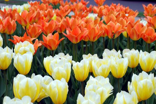 Tulip8-04-1336