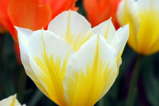 Tulip8-04-1340