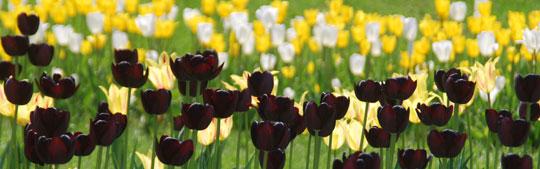 Tulip8-05-1755