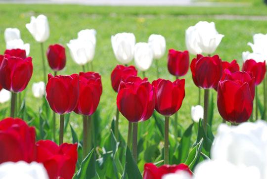 Tulip8-05-1760
