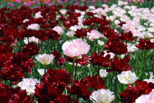 Tulip8-05-1740