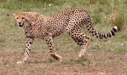 Africa7-09-5660cheetah