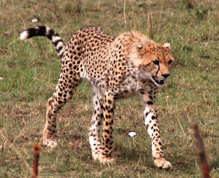 Africa7-09-5666cheetah