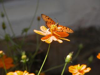 Garden_cosmos_butterfly