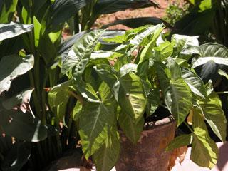 Garden_green_plant