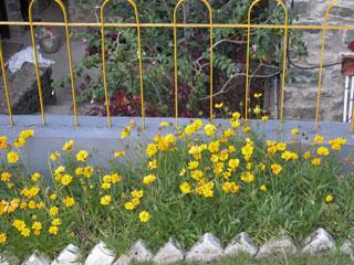 Kodai_flowers_yellow2_1283