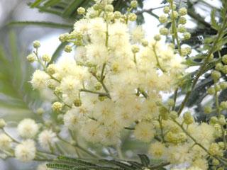 Kodai_flowers_fuzzy2_1244