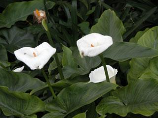 Kodai_flowers_lily2_1158