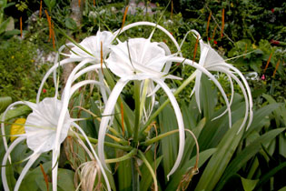 Malaysia_whiteflowers_2143