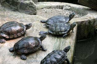 Malaysia_turtles_2165