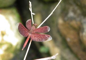 Malaysia_dragonfly_2151