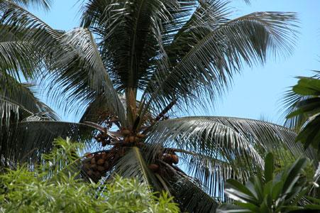 Maldives_coconuts_2005-08-3