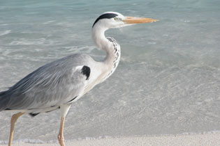 Heron_2005-08-3591
