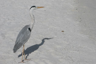 Heron_shadow_2005-08-3587