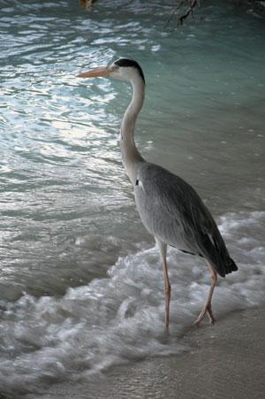 Heron_2005-08-3810
