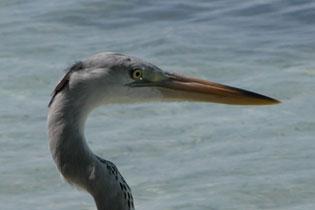 Heron_closeup_2005-08-3504
