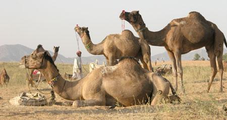 Pushkar_3camels_2005-11-609