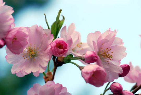 Flowering cherry blossoms 8-04-1114