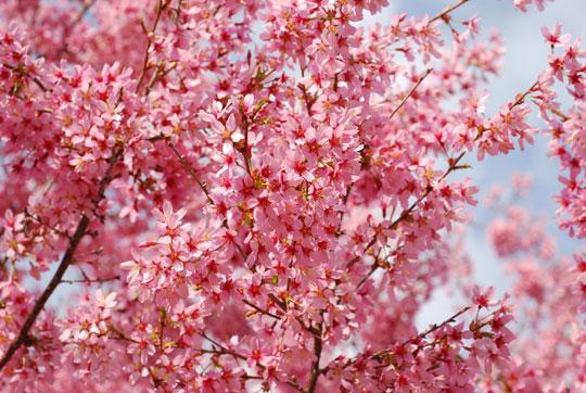 Flowering cherry 8-04-1077
