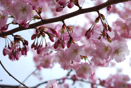 Flowering cherry blossoms and buds 8-04-1158