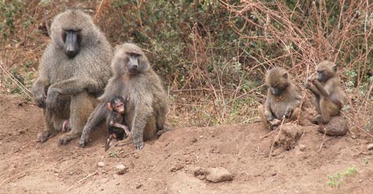Africa7-09-7325baboon