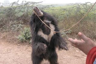 Dancing bear 107