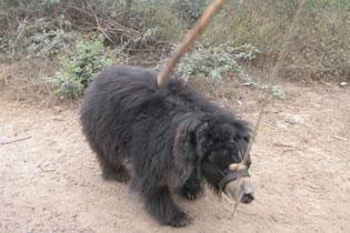Bears_0106