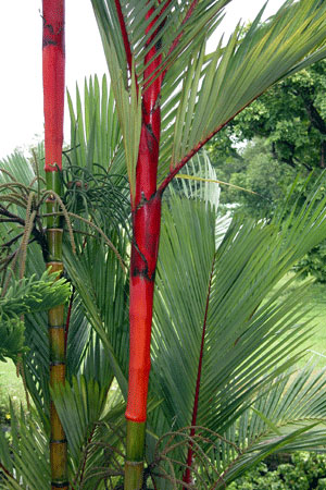 Red_palm_2006-09-3985