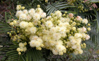 White_flowerfluff_2004_1246