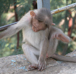 Monkey_looking_down