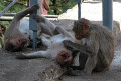 Monkeys_three_grooming