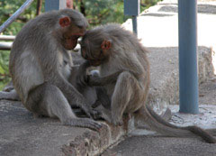Monkeys_two_grooming