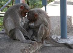Monkeys_two_grooming