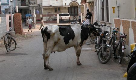 Cow_00577