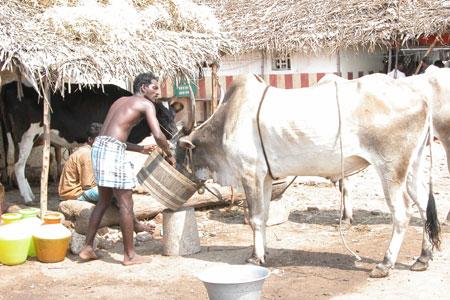 Cow_00534