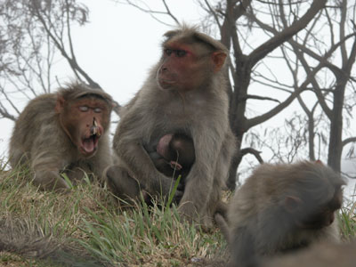 Kodai_monkeys_2004_1303