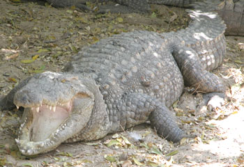 Crocs_openmouth_2004_0882
