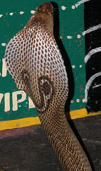 Crocs_cobra_back_2004_0929