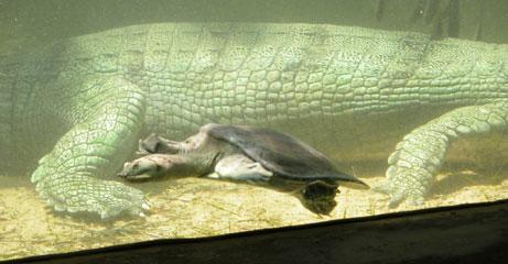Crocs_turtle_2004_0876