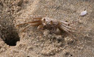 Beach_crab_2004_0746