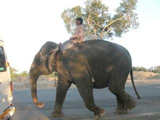 Kodai_elephant_1359