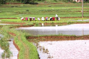 Kerala_ricepaddy_1880