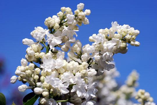 Lilac8-05-1573