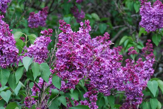 Lilac8-05-2326