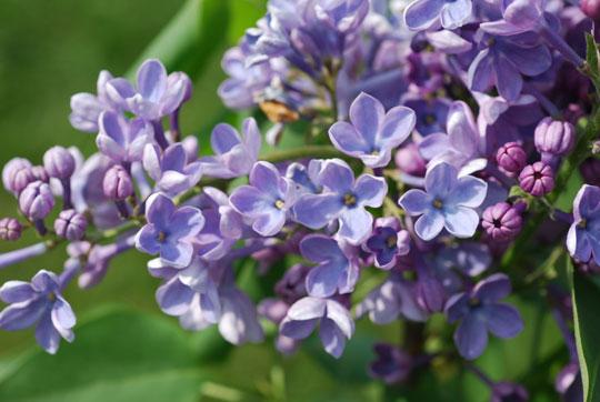 Lilac8-05-1831