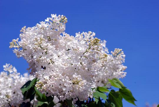 Lilac8-05-1606